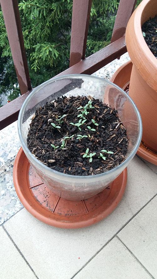 2016 05 30 pianta pollice verde karotina calendula